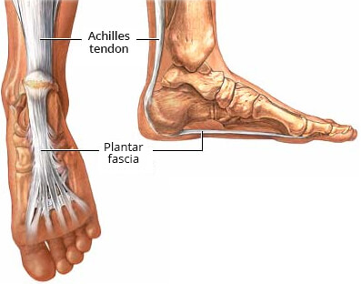 Plantar fascia and Achilles tendon
