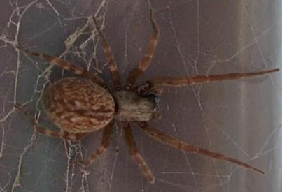 BLACK HOUSE WINDOW SPIDER