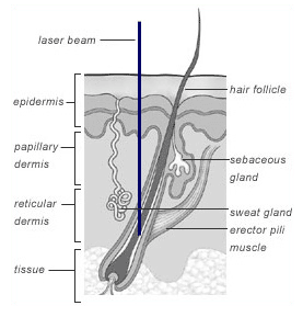 Hair biology