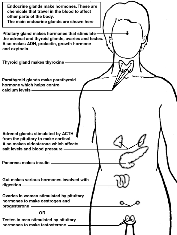 Endocrine System Diagram Worksheet i109 l jpg