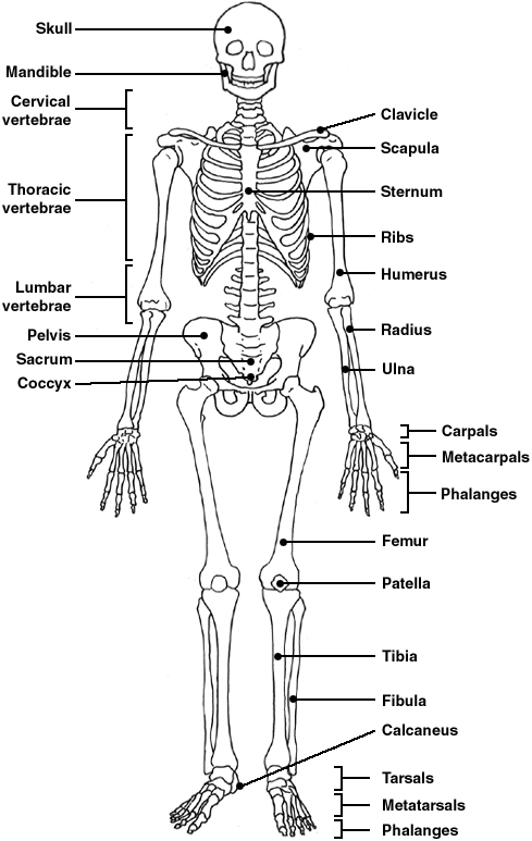 skeleton   diagram   patienti   l jpg