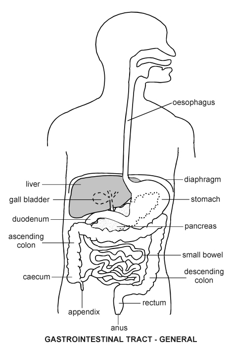 gastro intestinal tract diagram patient : intestines diagram - findchart.co