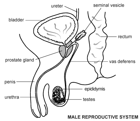 Male Reproductive System Diagram on simple remote control diagram