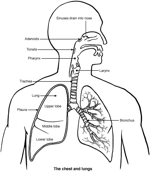 lungs diagram patient : lung diagram - findchart.co