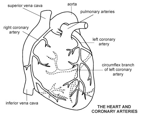 Arteries Drawing Heart coronary Diagram Patient