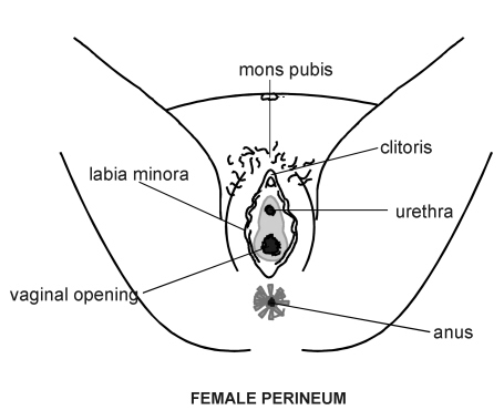 female genitalia diagram patient : female genitalia diagram - findchart.co