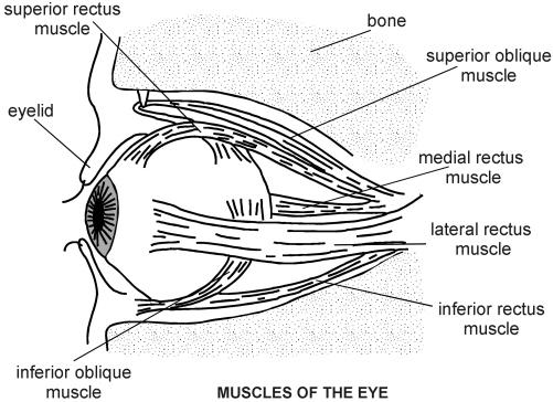 eye muscles diagram patient : eye muscle diagram - findchart.co