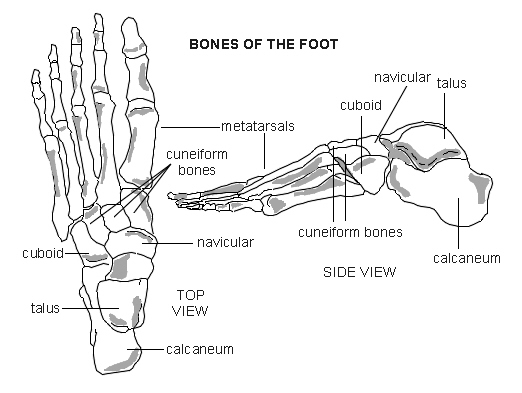foot   bones   diagram   patienti  l jpg