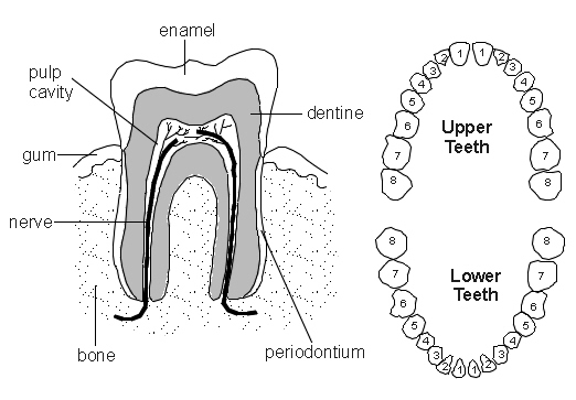 teeth diagram patient : teeth diagram - findchart.co