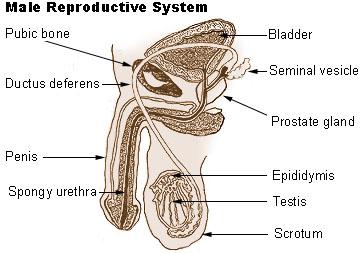 male reproductive system diagram patient : male diagram - findchart.co