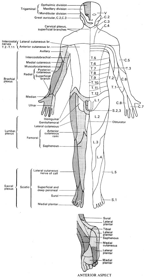 DERMATOME DISTRIBUTION (1)