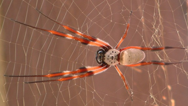 GOLDEN ORB WEAVING SPIDER